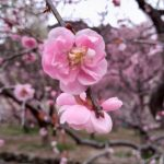 しだれ梅まつり愛知県で見るならココ!川売梅の里近くインスタ映え